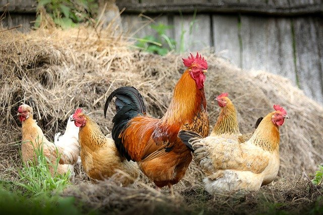How to Forage Wild Food to Feed Your Chickens